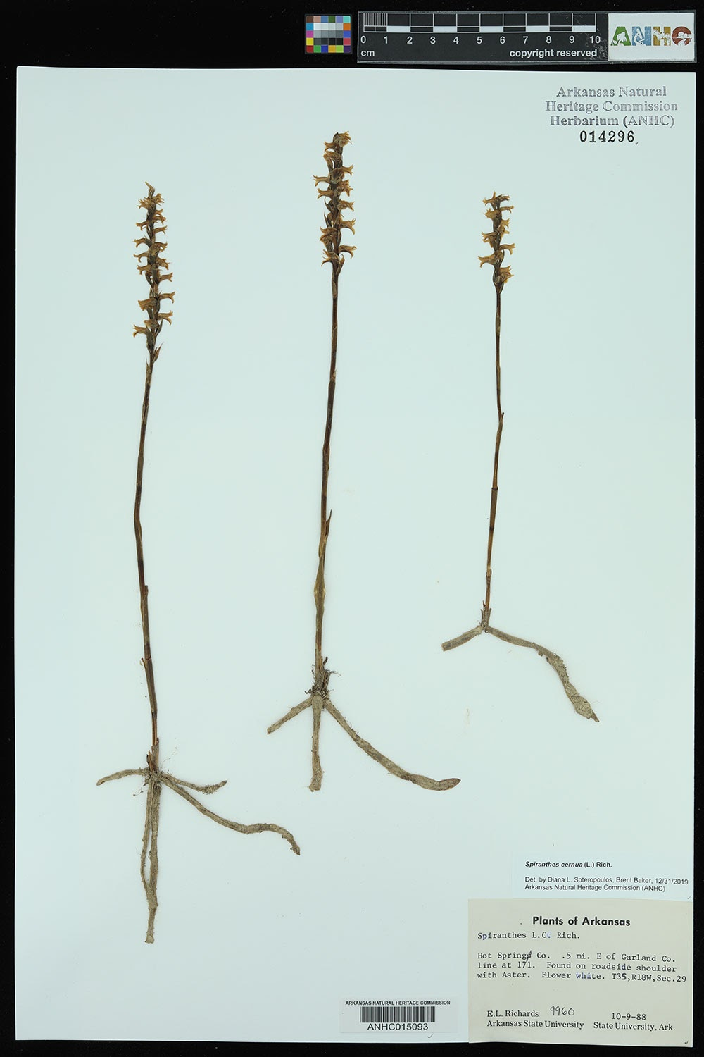 Spiranthes herbarium spec